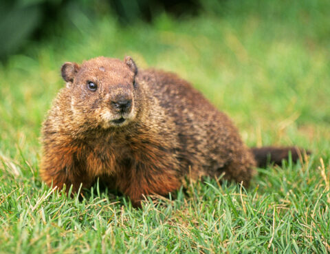B01BPD Portrait of a common woodchuck Marmota monax or groundhog